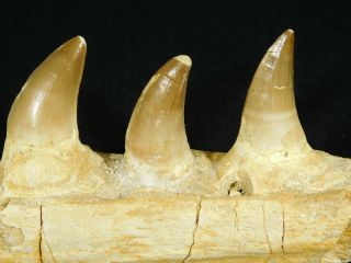 A Natural 100 Million Year Old Mosasaur Jaw Fossil With Three Teeth 328gr