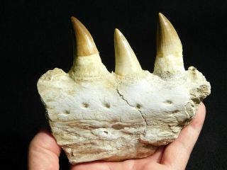 A Natural 100 Million Year Old Mosasaur Jaw Fossil With Three Teeth 303gr