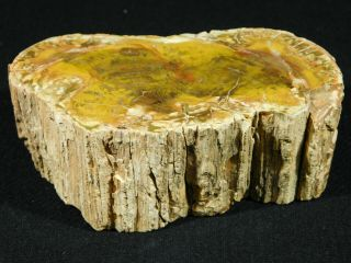 Perfect Bark A Larger Polished Petrified Wood Roller Fossil Madagascar 626gr