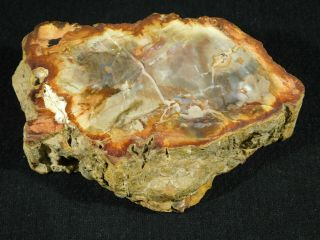 A 210 Million Year Old Polished Petrified Wood Fossil From Madagascar 409gr