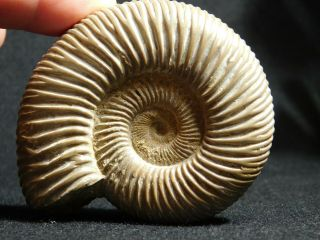 A Polished 200 Million Year Old White Ribbed Ammonite Fossil 122gr