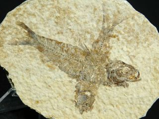 Two 100 Natural 50 Million Year Old Knightia Fish Fossils From Wyoming 107gr