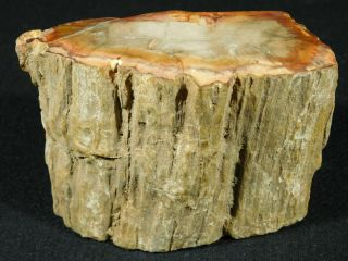 A Colorful 210 Million Year Old Polished Petrified Wood Fossil Madagascar 580gr