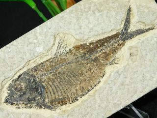 A 50 Million Year Old Knightia Alta Fish Fossil From Wyoming 130gr