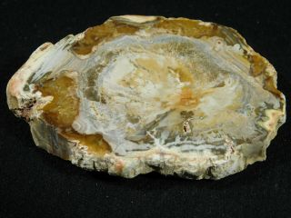 A Cut And Polished Petrified Wood Roller Fossil From Madagascar 134gr