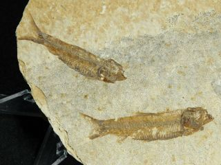 Two 100 Natural 50 Million Year Old Knightia Fish Fossils From Wyoming 90.  5gr