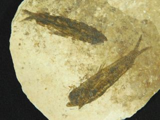Two Small Restored 53 Million Year Old Knightia Fish Fossils Wyoming 72.  2gr