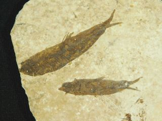 Two Small Restored 53 Million Year Old Knightia Fish Fossils Wyoming 59.  7gr