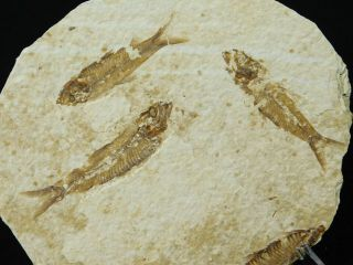 Three 100 Natural 50 Million Year Old Knightia Fish Fossils Wyoming 105gr