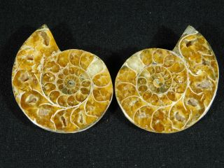 A Small 120 Million Year Old Cut And Polished Split Ammonite Fossil 73.  6gr