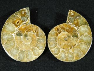 A Small 120 Million Year Old Cut And Polished Split Ammonite Fossil 82.  5gr