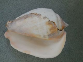 Large Vintage Natural Conch Shell