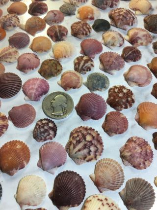 270 Calico Scallops Seashells Hand Collected Wrightsville Bch Nc Vintage Natural