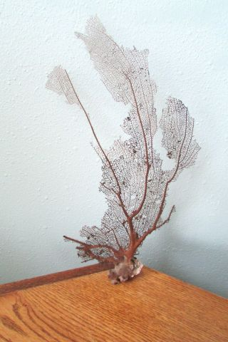"""Vintage Natural Sea Fan Coral For Display 18 """" H X 11 """" W Brown W Shades Of Purple"""