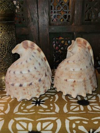 """2 Vintage King Helmet Crab Sea Shells 6 """" Pointed Tops Removed To Make Into Lamps"""