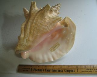 """Vintage Extra Large Queen Conch Shell Seashell 9 """" Nautical Beach Decor Blunt Tip"""