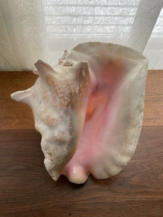 """Large Vtg Queen Conch Shell Seashell Horned Pink Inside No Harvest Hole 8 """""""