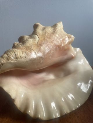"""Decorative Extra Large Queen Conch Seashell Shell 8 - 10 """" Vintage"""