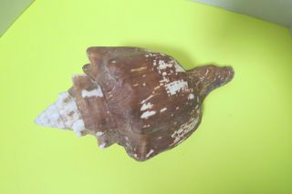 """Large Vtg Queen Conch Sea Shell 13 """" L Natural Nautical Decor Pink Color Inside"""