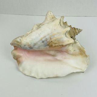 Vintage Large Queen Pink Conch Shell Decor 10 Inch